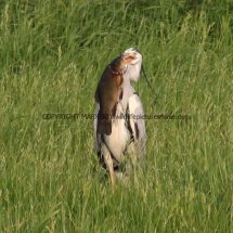 Grey Heron with Tench (3)