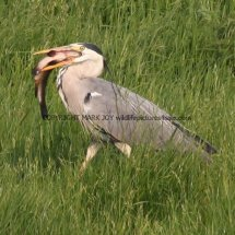 Grey Heron with Tench (6)