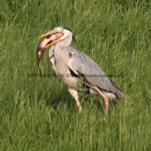 Grey Heron with Tench (7)