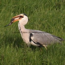 Grey Heron with Tench (9)