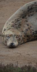 Grey Seal (31)