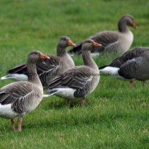 Greylag Goose (1)