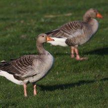 Greylag Goose (8)