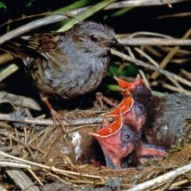 Hedge Sparrow 15 (1)