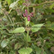 Hedge Woundwort (Stachys sylvatica) (1)