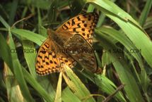 High Brown Fritillary 6