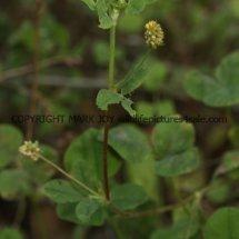 Hop Trefoil (Trifolium campestre) (2)