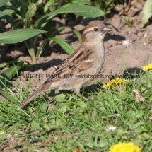 House Sparrow 1 (54)