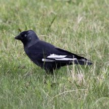 Jackdaw with White wings (1)