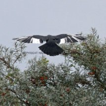 Jackdaw with White wings (2)