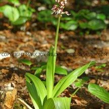 Lady Orchid (Orchis purpurea) 29.4.2017 (1)
