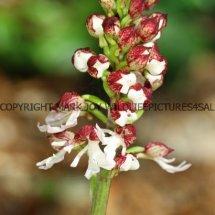Lady Orchid (Orchis purpurea) 29.4.2017 (2)