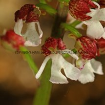 Lady Orchid (Orchis purpurea) 29.4.2017 (3)