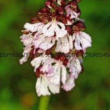 Lady Orchid (Orchis purpurea) 29.4.2017 (6)