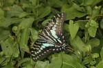 Large-Striped Swordtail (Graphium antheus) (5)