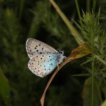Large Blue (13)