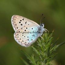 Large Blue (16)