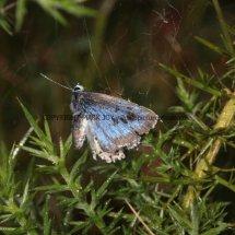 Large Blue (18)