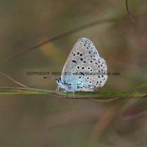 Large Blue (9)