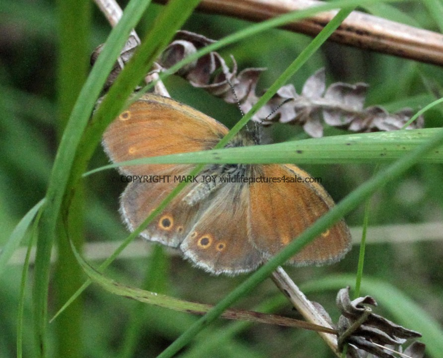 Large Heath (14)