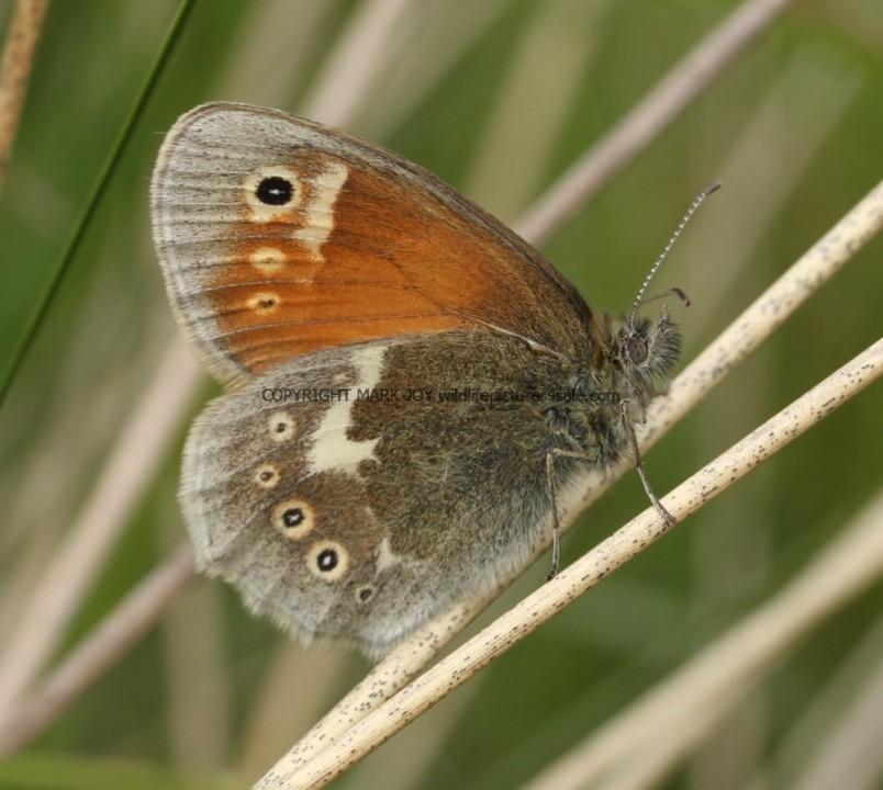 Large Heath (1)