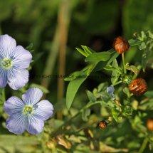 Linseed or Flax (Linum usitatissimum) (1)