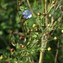 Linseed or Flax (Linum usitatissimum) (2)