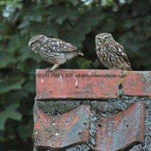 Little Owl (5)