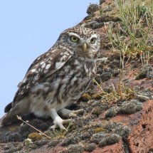 Little Owl (1)