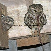 Little Owl 22