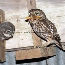 Little Owl (4)