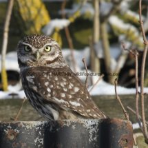 Little Owl (3)