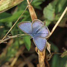Long Tailed Blue (3)