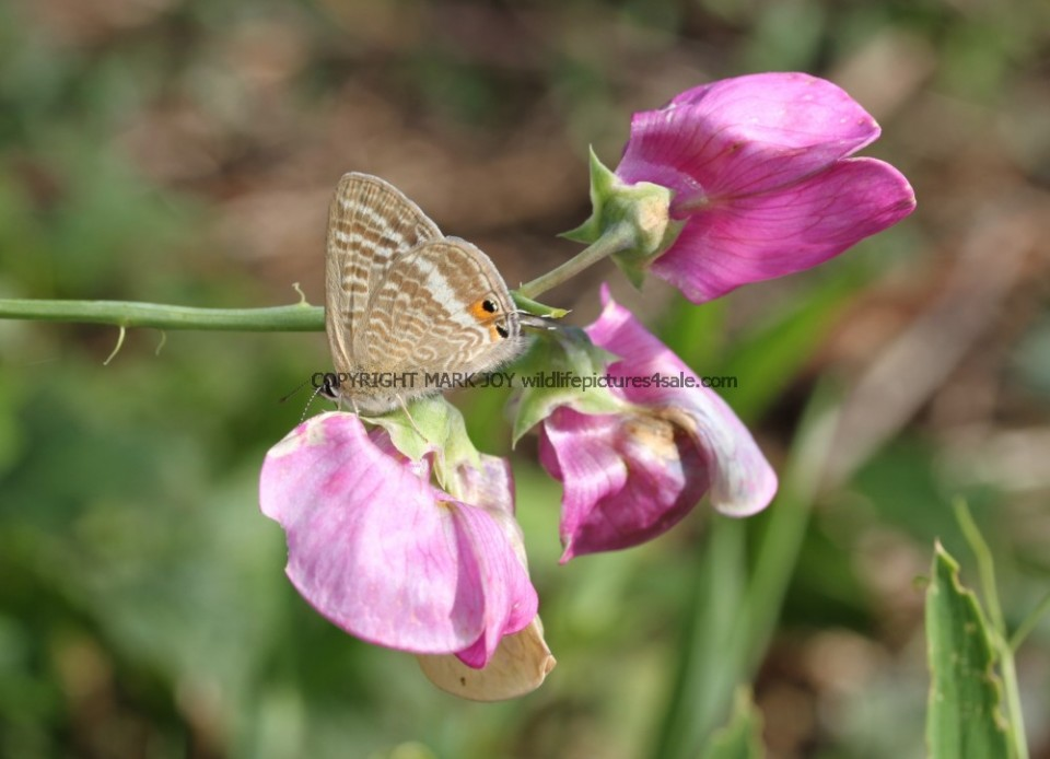 Long Tailed Blue (6)