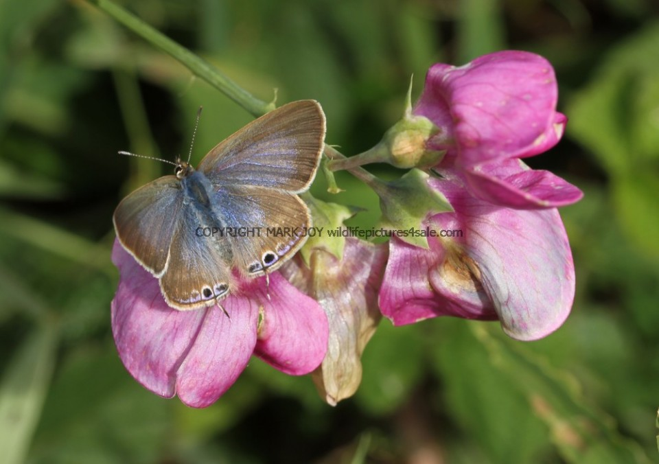 Long Tailed Blue (7)