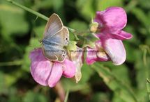 Long Tailed Blue (female) (8)