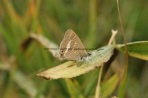 Long Tailed Blue (9)