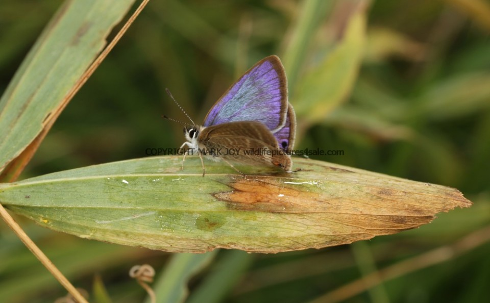 Long Tailed Blue (10)