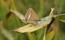 Long Tailed Blue (11)