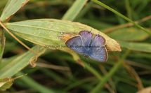 Long Tailed Blue (12)