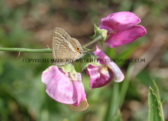 Long Tailed Blue (female) Kingsdown Leas (3)