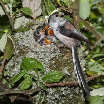 Long Tailed Tit (6)