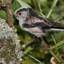 Long Tailed Tit (7)