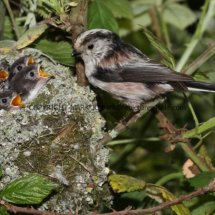 Long Tailed Tit (14)