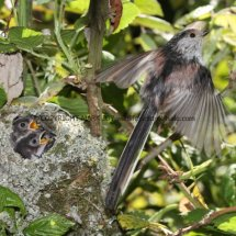 Long Tailed Tit (22)