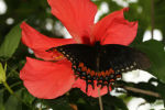 Magnificent Swallowtail - Female (Papilio garamus) (3)
