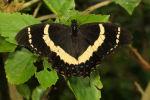 Magnificent Swallowtail - Male (Papilio garamus) (1)