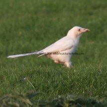Magpie (Albino) (10)