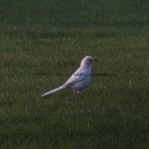 Magpie (Albino) (11)