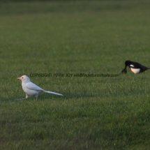 Magpie (Albino) (12)
